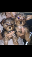 Yorkshire Terrier Puppy For Sale in TOLEDO, OH