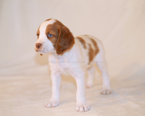 Brittany Puppy For Sale in CONDON, MT