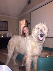 Irish Wolfhound Puppy For Sale in LAKE JACKSON, TX