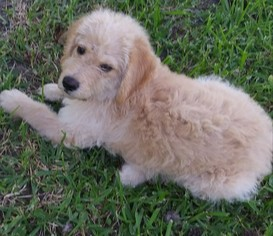 Labradoodle Puppy For Sale in ONALASKA, TX