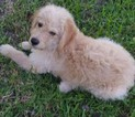 Labradoodle Puppy For Sale in ONALASKA, TX,
