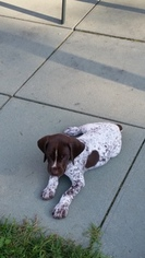 German Shorthaired Pointer Puppy For Sale in GRANTVILLE, PA, USA