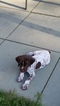 German Shorthaired Pointer Puppy For Sale in GRANTVILLE, PA,