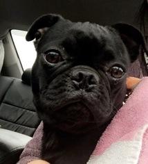 Buggs Puppy For Sale in WOODBRIDGE, VA