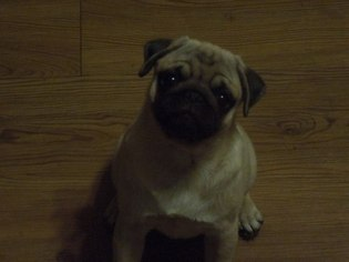 View Ad Pug Puppy For Sale New York Lawtons Usa