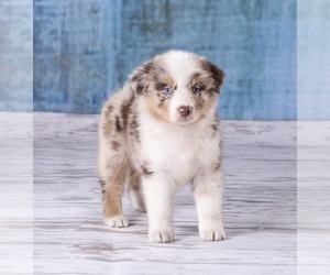 Australian Shepherd Puppy for Sale in ROBERTS, Illinois USA