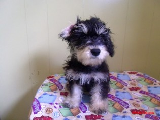 Poodle (Toy)-Schnauzer (Standard) Mix Puppy For Sale in PATERSON, NJ
