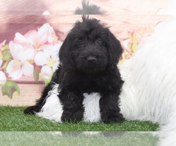 Medium Photo #1 Labradoodle Puppy For Sale in MARIETTA, GA, USA