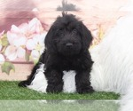 Small Photo #1 Labradoodle Puppy For Sale in MARIETTA, GA, USA