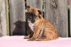 English Bulldog Puppy For Sale in FREDERICKSBURG, OH, USA
