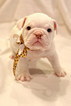 Bulldog Puppy For Sale in FAYETTEVILLE, Arkansas,