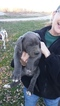 Great Dane Puppy For Sale in CALHOUN, IL,