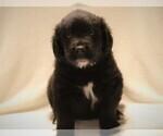 Puppy 9 Golden Newfie