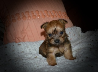 Tiny Toy Male Morkie