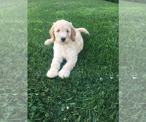 Labradoodle Dog for Adoption in MC GREGOR, Iowa USA