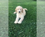 Labradoodle Puppy For Sale in MC GREGOR, IA, USA