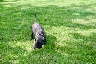 Bullmastiff Puppy For Sale in TUSCALOOSA, AL, USA
