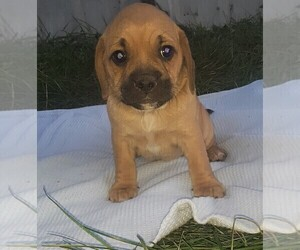 Puggle Puppy for sale in CLARE, IL, USA