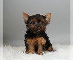 Puppy 9 Yorkshire Terrier