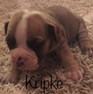 Olde English Bulldogge Puppy For Sale in GILLETTE, WY