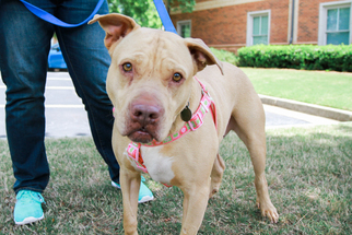 Princess - Pit Bull Terrier / Shar Pei / Mixed (short coat) Dog For Adoption