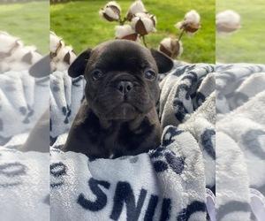French Bulldog Puppy for sale in DARDANELLE, AR, USA