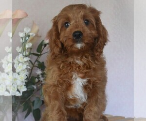 Cavapoo Puppy for sale in AARONSBURG, PA, USA