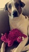 Greyhound-Labrador Retriever Mix Dog For Adoption in MILWAUKEE, WI, USA
