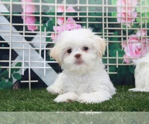 Shih Tzu Puppy for sale in MARIETTA, GA, USA