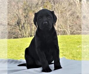 Labrador Retriever Puppy for sale in MORGANTOWN, PA, USA