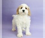 Puppy 9 Cocker Spaniel-Poodle (Miniature) Mix