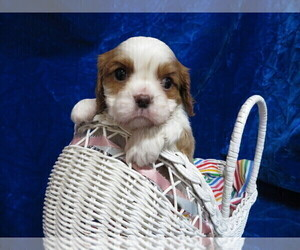 Cavalier King Charles Spaniel Puppy for Sale in NORWOOD, Missouri USA