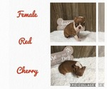Puppy 6 Boston Terrier