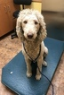 Poodle (Standard) Puppy For Sale in LAKELAND, FL, USA