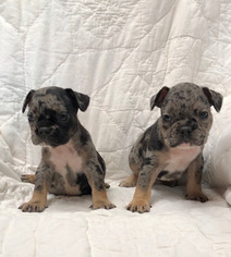 Frenchies for sale