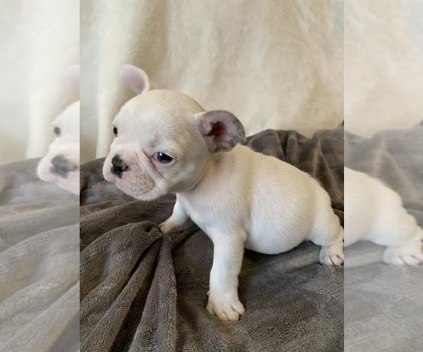 Medium Photo #12 French Bulldog Puppy For Sale in JOHNS ISLAND, SC, USA