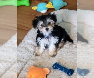 Morkie Puppy for sale in GLOUCESTER, VA, USA