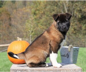 Akita Puppy for sale in FREDERICKSBG, OH, USA