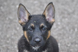 View Ad German Shepherd Dog Litter Of Puppies For Sale Near
