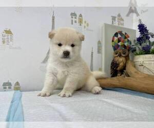 Shiba Inu Puppy for sale in SUNNYVALE, CA, USA