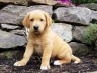 Puppy 2 Labrador Retriever-Unknown Mix