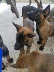 Belgian Malinois Puppy For Sale in AUSTIN, TX, USA