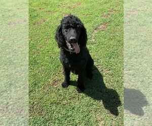 Poodle (Standard) Puppy for sale in LOOGOOTEE, IN, USA
