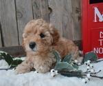 Small #3 Poodle (Miniature)