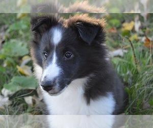 Shetland Sheepdog Puppy for sale in PRINCETON, MN, USA