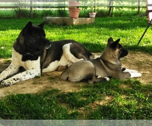 Father of the Akita puppies born on 02/26/2021