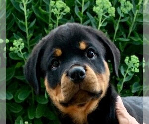 Rottweiler Puppy for Sale in NAPPANEE, Indiana USA