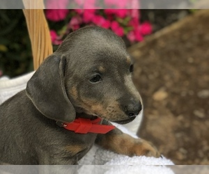 Dachshund Puppy for Sale in LOBELVILLE, Tennessee USA