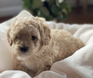 Labradoodle Puppy for sale in CONOVER, NC, USA