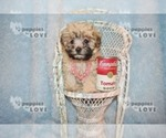 Small #12 Maltese-Poodle (Toy) Mix